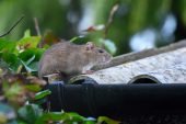 5 Steps to Protect Your Home from Rodents This Fall